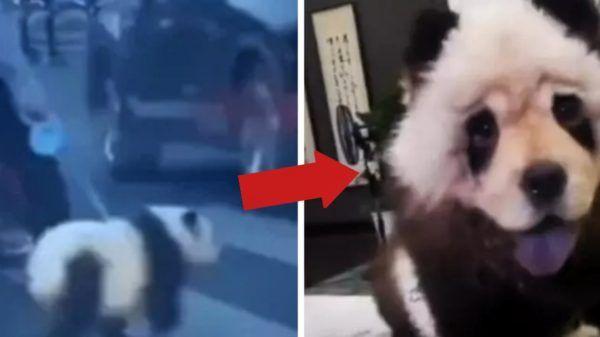 Perro Chow Chow oso panda