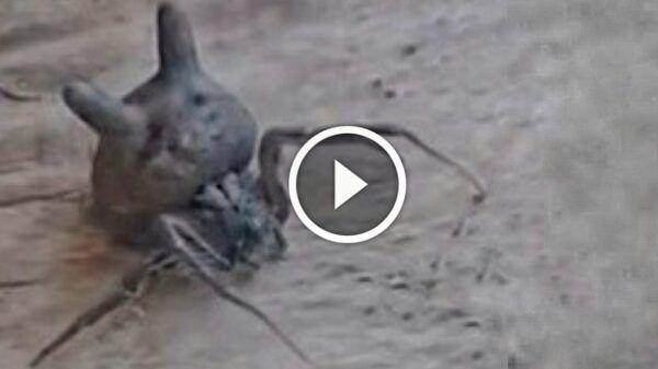 araña cabeza gato