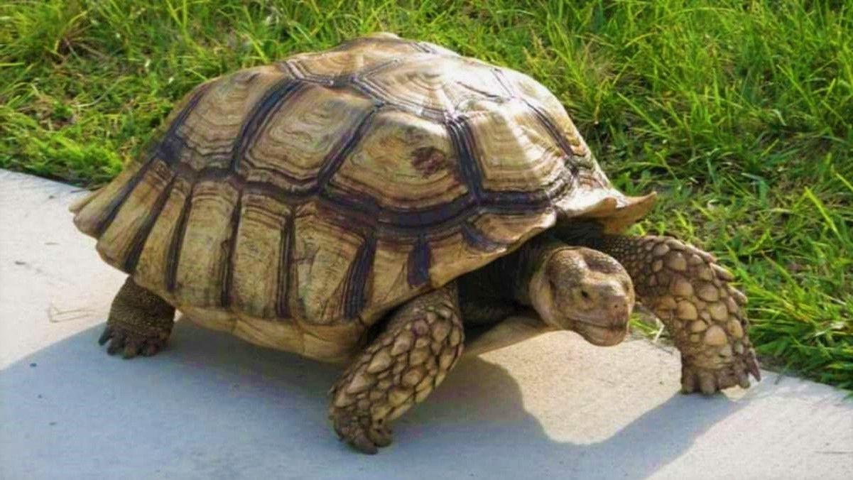 Cuanto vive una tortuga terrestre